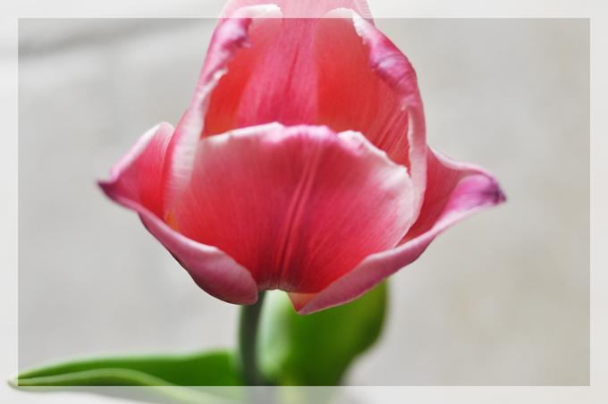 tulipe2a